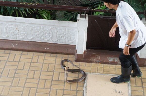 Cobra out at the Red Cross Snake Farm in Bangkok.  There is a show at 11am & 2pm where they bring the snakes out