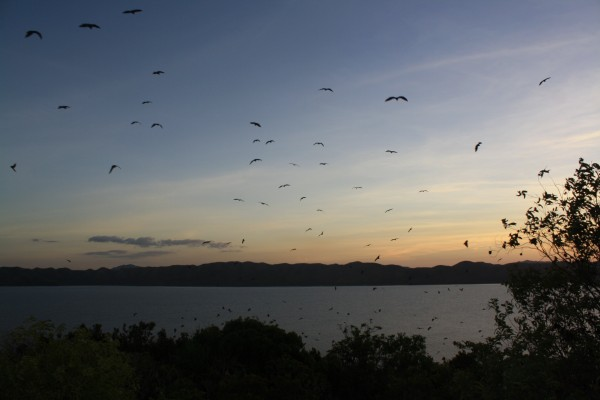 Fruit bats leaving the resort island at dusk to to hunt on the main island
