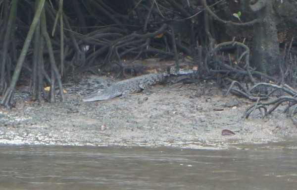 From the water village we took a boat to try to find some wild animals. Our bout driver spotted this crocodile