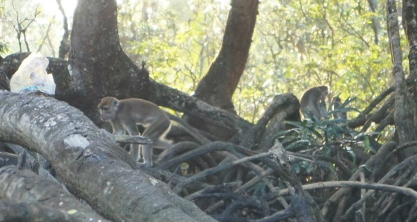 We also found these monkeys near the water edge. We also found proboscis monkeys and a lizard, but they were too far for a clear photo
