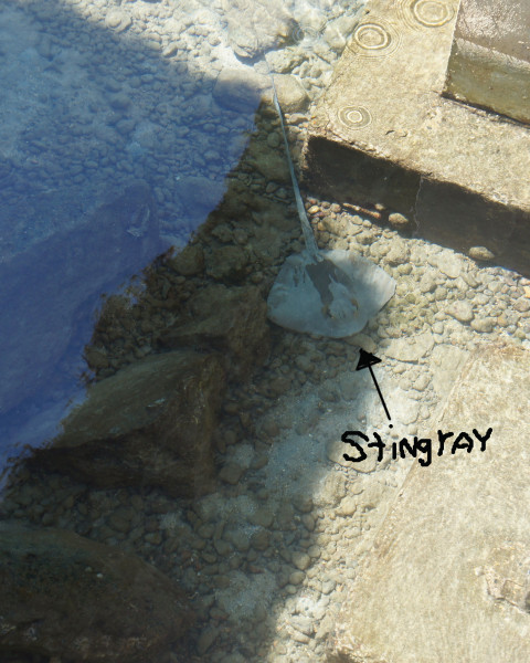 Below one of the cottages we saw a stingray hanging out in the morning.