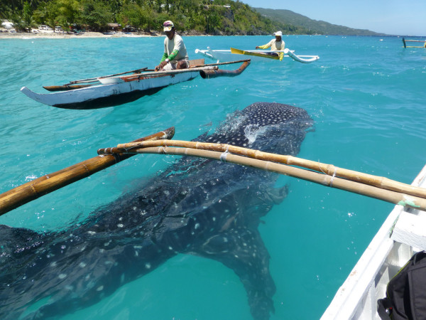 Hello whale shark! There were 6-10 sharks being hand-feed at Oslob.
