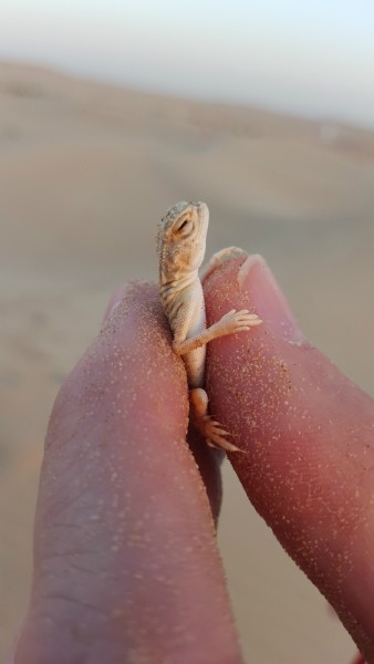 "After dinner we drove about 15-20 minutes and pulled off on the side of the road and picked a ""camp ground"" area in the sand dunes. Matt caught this small lizard with his bare hands."
