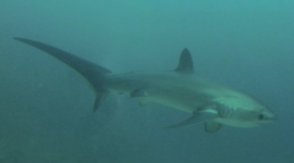 We woke up at 5am two days in a row to see the rare thresher shark.