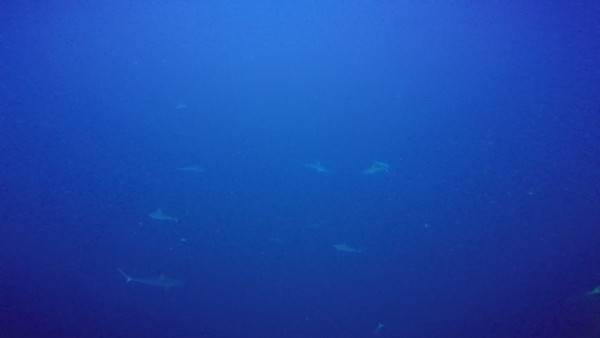 So many sharks were here. This trip exceeded expectations on the first dive.