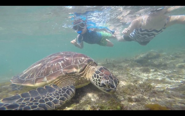 Mason and Tia snorkeling while a turtle eats grass.