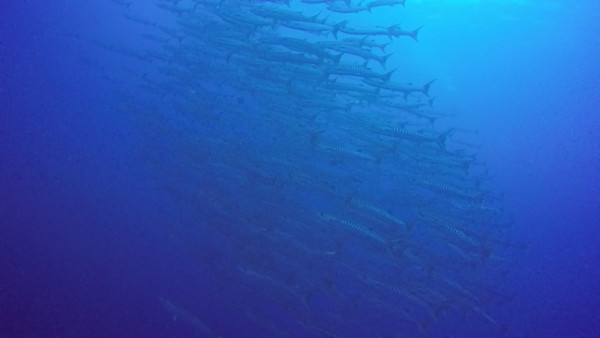 As we were making our safety stop we saw this huge school of barracudas.