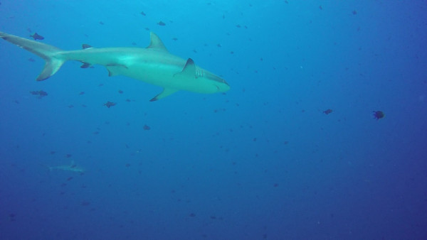 Second dive of the day was to Blue Corner. We hooked in and watched the sharks and other fish swim around.