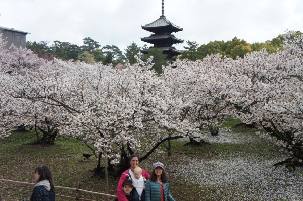 Cherry blossoms in full bloom here at the cherry blossom tunnel.