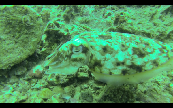 We saw various sizes of cuttlefish.