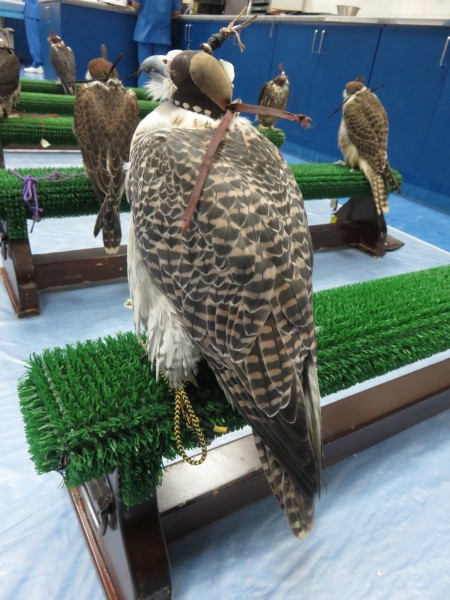We had an appointment to visit the Falcon Hospital and learned a lot about falcons. If they are wearing a falcon hood they are calm.
