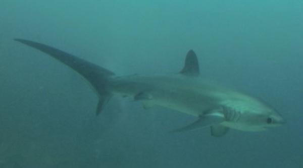We woke up at 5am two days in a row to see the rare thresher shark.