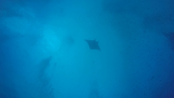 First dive of the day was to German Channel. We were lucky enough to see this manta ray that was near the surface while we were below.